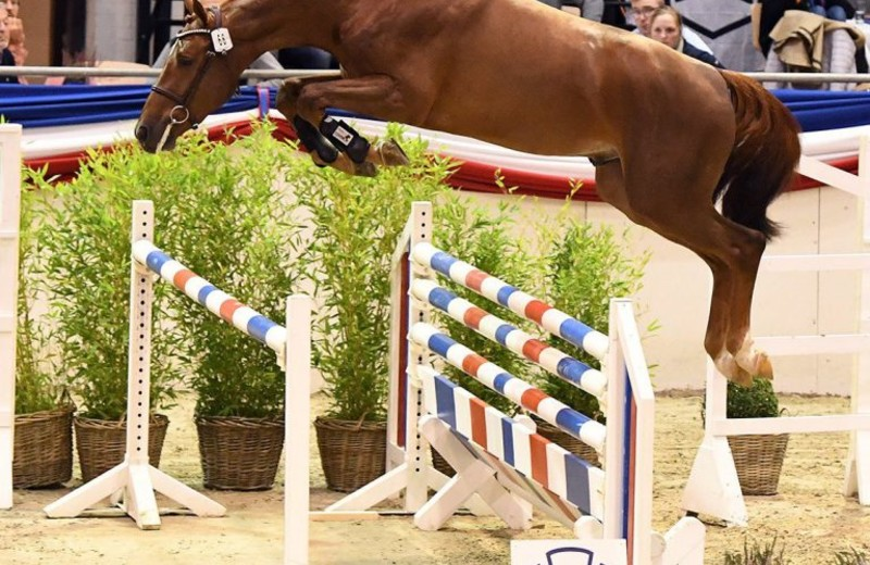 Le Champion de l'expertise des étalons 2020 du Holsteiner Verband:Vigado (Vigo d'Arsouilles x Quo Vados I) (photo: Holsteiner Verband/Bugtrup)