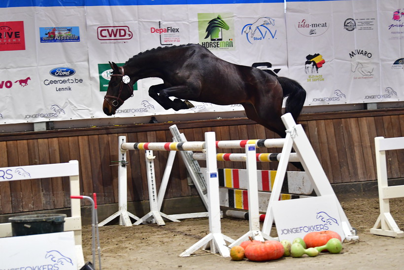KILIMANDJARO D'EEL (Peppermill/Baltik Sitte – naisseur: L. Vandekerckhove à B-7950 Ladeuze) (photo (c) Paardenfotograaf)